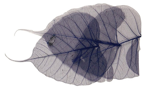 Scarva Blue Skeleton Leaves (8 Piece - 6-10cm)  - Click to view larger image